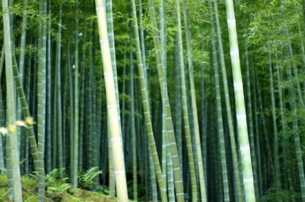 bamboo-forest-e1436500465111